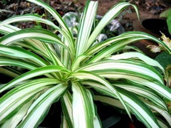 ว่านเศรษฐีเรือนใน spider plant ว่านมงคล ว่านเมตตามหานิยม ว่าน ไม้มงคล ว่าน เศรษฐี ต้นไม้มงคล ต้นไม้มหาเศรษฐี ต้นแมงมุม Airplane Plant ต้นเครื่องบิน  เสริมโชค เสริมดวงชะตา ปลูกแล้วรวย | Lazada.co.th